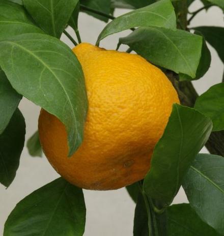 Mandarinka pěstování