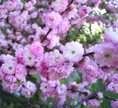 Růžově kvetoucí keř